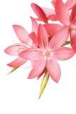 beau rose de lis Image libre de droits