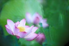Beau rose waterlily ou fleur de lotus dans l'étang Image libre de droits