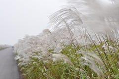 Beau roseau autour de fleuve de Huanghe Photographie stock libre de droits