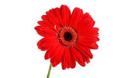 beau rouge de fleur Photos stock