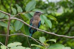 Beau rouleau indochinois sur une branche d'arbre Photo libre de droits
