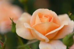 Beau s'est levé avec la couleur d'abricot Images stock
