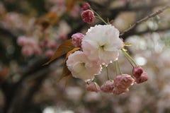 Beau Sakura image stock