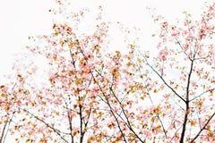 Beau Sakura ou fleurs de cerisier avec le foyer mou Fond blanc de ciel nuageux Photos libres de droits