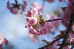 Beau Sakura rose fleurissant au printemps sur le fond de ciel bleu Photo stock