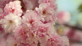 Beau Sakura rose fleurit dans un jardin de ressort banque de vidéos