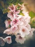 Beau Sakura rose Fleurs de cerisier dans le printemps Image stock