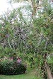 Beau saule de Callistemon d'arbre photos libres de droits