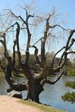 Beau saule par un lac Image libre de droits
