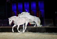 Beau sauter de chevaux de lusitano Photographie stock