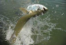 Beau sauter de poissons de tarpon de l'eau images libres de droits