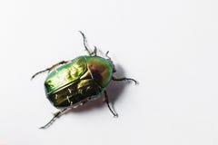 Beau scarabée vert, macro tir, bronze d'or Images libres de droits