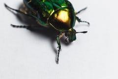 Beau scarabée vert, macro tir, bronze d'or Image stock