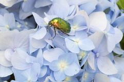 Beau scarabée vert sur les pétales d'un hortensia bleu Images libres de droits