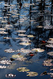 Beau scintillement Lily Pads Photo stock