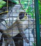 Beau singe dans une cage de zoo Photos libres de droits