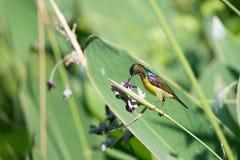 Beau sunbird Photographie stock