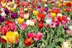 Beau temps de fleur de tulipes au printemps Photo stock