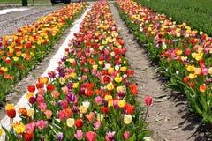 Beau temps de fleur de tulipes au printemps Photographie stock