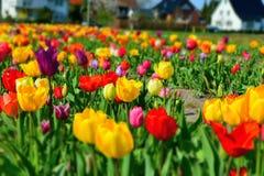 Beau temps de fleur de tulipes au printemps Photo libre de droits