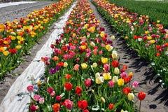 Beau temps de fleur de tulipes au printemps Images libres de droits