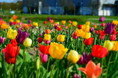 Beau temps de fleur de tulipes au printemps Image stock