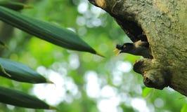 Beau terrain communal Myna d'oiseau Photos libres de droits