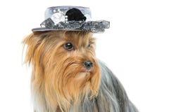 Beau terrier de Yorkshire dans le chapeau de fantaisie Image stock