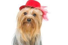 Beau terrier de Yorkshire dans le chapeau de fantaisie Photo libre de droits