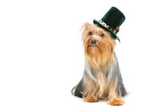 Beau terrier de Yorkshire dans le chapeau de fantaisie Photo stock
