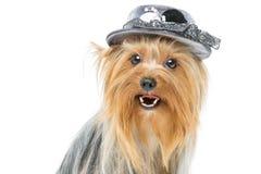 Beau terrier de Yorkshire dans le chapeau de fantaisie Image libre de droits