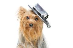 Beau terrier de Yorkshire dans le chapeau de fantaisie Photographie stock