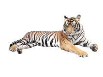 Beau tigre Image libre de droits