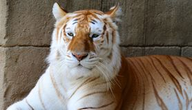Beau tigre adulte Photos libres de droits