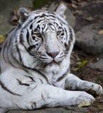 Beau tigre blanc Photo stock