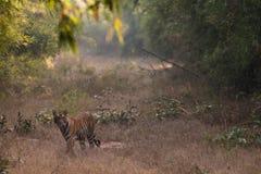 Beau tigre de Bengale en parc national de Bandhavgarh de l'Inde Photo libre de droits