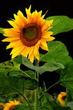 beau tournesol Photo libre de droits