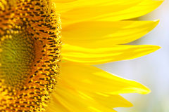 Beau tournesol Photo stock