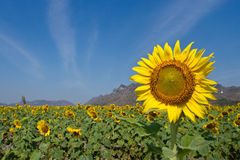 Beau tournesol Images stock