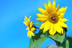 Beau tournesol avec une abeille contre le ciel image libre de droits