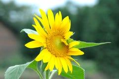 Beau tournesol jaune naturel dans le jardin photos libres de droits
