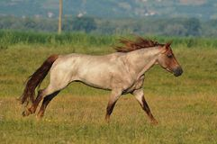 Beau trot de cheval Photos libres de droits
