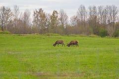 Beau troupeau de cerfs communs frôlant au printemps le pré Dears dans le domaine photos stock