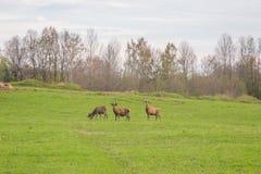 Beau troupeau de cerfs communs frôlant au printemps le pré Dears dans le domaine photos libres de droits