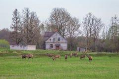 Beau troupeau de cerfs communs frôlant au printemps le pré Dears dans le domaine images libres de droits
