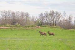 Beau troupeau de cerfs communs frôlant au printemps le pré Dears dans le domaine image stock