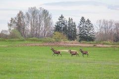 Beau troupeau de cerfs communs frôlant au printemps le pré Dears dans le domaine photographie stock