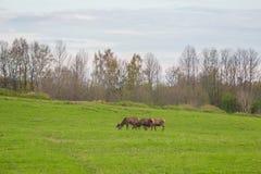 Beau troupeau de cerfs communs frôlant au printemps le pré Dears dans le domaine photographie stock libre de droits