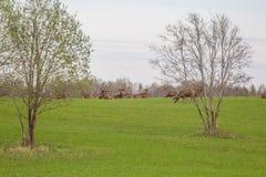 Beau troupeau de cerfs communs frôlant au printemps le pré Dears dans le domaine photo stock