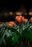 Beau Tulipa Photos libres de droits